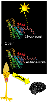Light from a sun shinning on the Opsin-retinal complex in a cone cell. Originall in retinal is in the 11-cis-retinal form. The light changes it to the all-Trans-retinal form. The cone cell sends a signal to the brain.