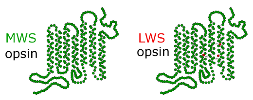 The Medium Wavelength Sensative Opsin protein and the Light Wavelength Sensative version are identical excelt three amino acids near the middle of the protein.