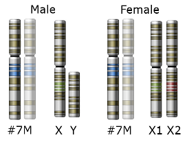Males and Females differe by the number of X chromosomes. If a monkey species has only one gene coding for an opsin protein on the X chromosome then Males can have either long wavelength sensative or short but not both, giving only dichromatic vision.   Some Females can have both long and short, one on each chromosome giving trichromatic vision.